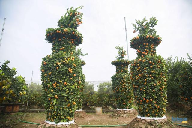 Chiêm ngưỡng vườn quất lục bình khổng lồ có giá hàng chục triệu đồng/cặp - Ảnh 1