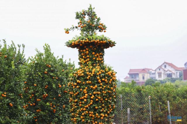 Chiêm ngưỡng vườn quất lục bình khổng lồ có giá hàng chục triệu đồng/cặp - Ảnh 4