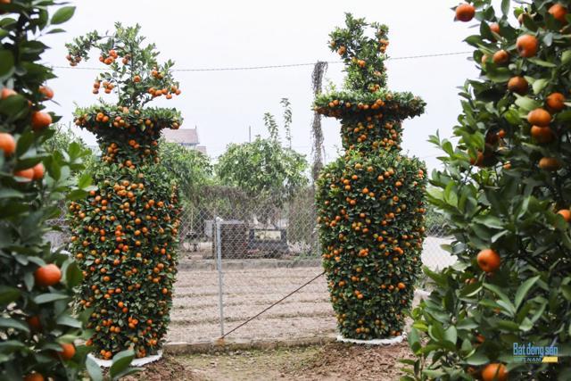 Chiêm ngưỡng vườn quất lục bình khổng lồ có giá hàng chục triệu đồng/cặp - Ảnh 12