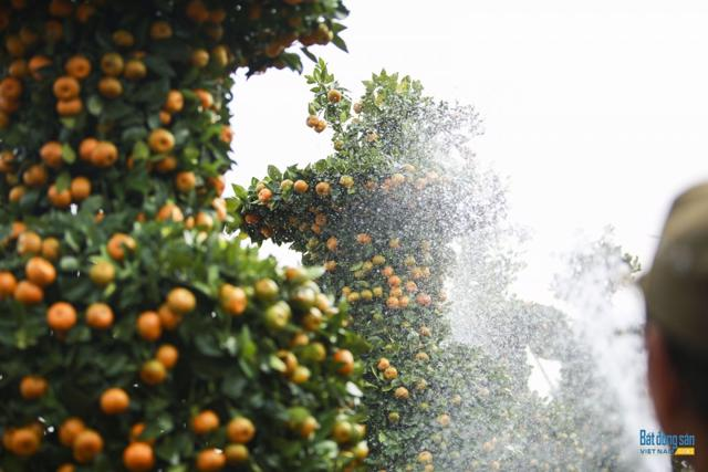 Chiêm ngưỡng vườn quất lục bình khổng lồ có giá hàng chục triệu đồng/cặp - Ảnh 17