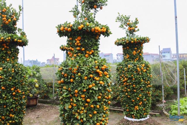 Chiêm ngưỡng vườn quất lục bình khổng lồ có giá hàng chục triệu đồng/cặp - Ảnh 18