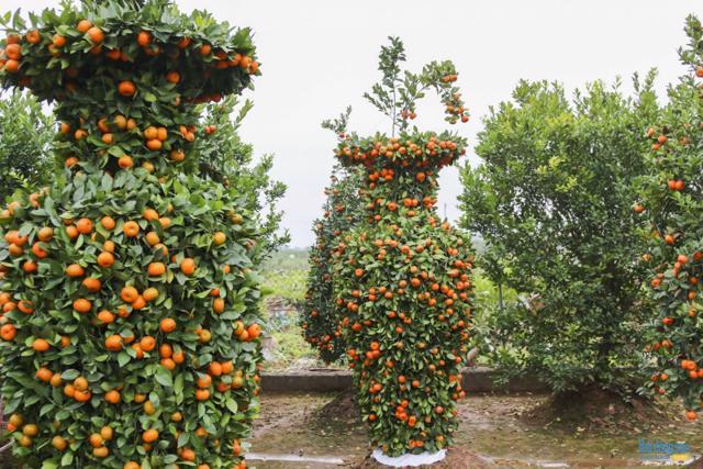 Chiêm ngưỡng vườn quất lục bình khổng lồ có giá hàng chục triệu đồng/cặp - Ảnh 9