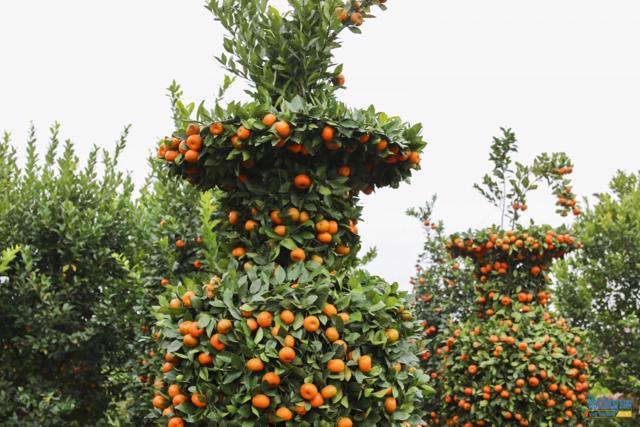 Chiêm ngưỡng vườn quất lục bình khổng lồ có giá hàng chục triệu đồng/cặp - Ảnh 10