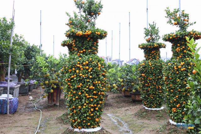 Chiêm ngưỡng vườn quất lục bình khổng lồ có giá hàng chục triệu đồng/cặp - Ảnh 2