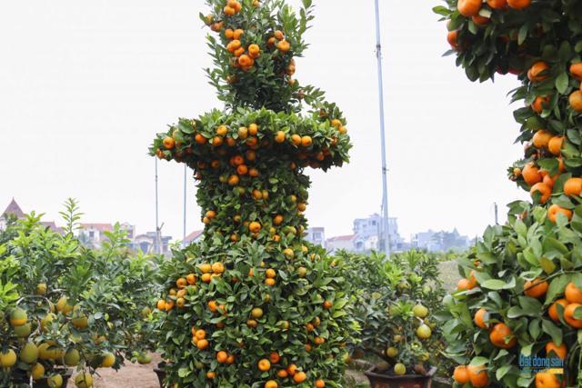 Chiêm ngưỡng vườn quất lục bình khổng lồ có giá hàng chục triệu đồng/cặp - Ảnh 16