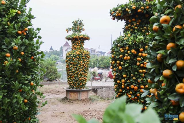 Chiêm ngưỡng vườn quất lục bình khổng lồ có giá hàng chục triệu đồng/cặp - Ảnh 5