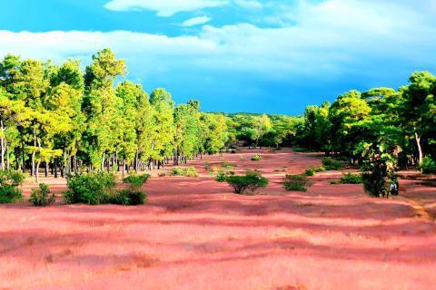 Gần 156ha rừng thông 50 tuổi ở Đăk Đoa sẽ được chuyển đổi làm sân golf. Ảnh: Báo Gia Lai